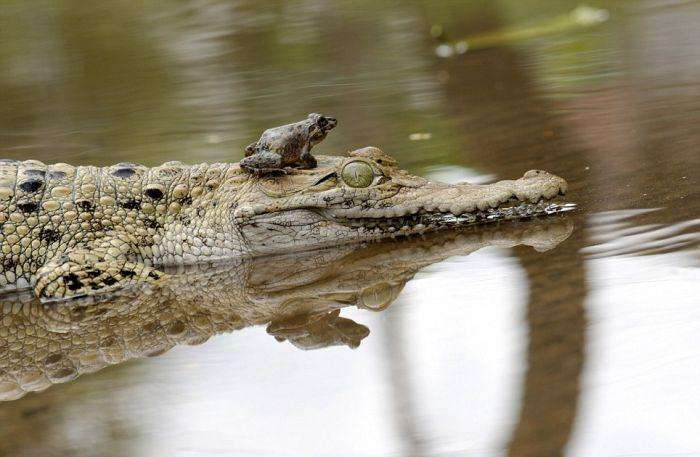 Як жаба може поставити крокодила в незручне становище (5 фото)
