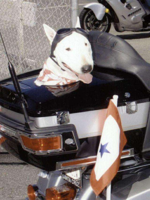 Собаки рокерів (21 фото)
